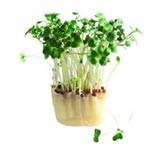 Broccoli Cress